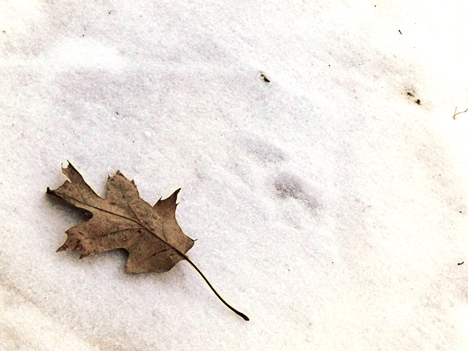 Leaf on Snow, last of winter