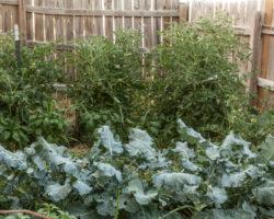 Fresh Garden Broccoli