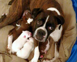 Boxer Puppies and the First Visit to the Vet