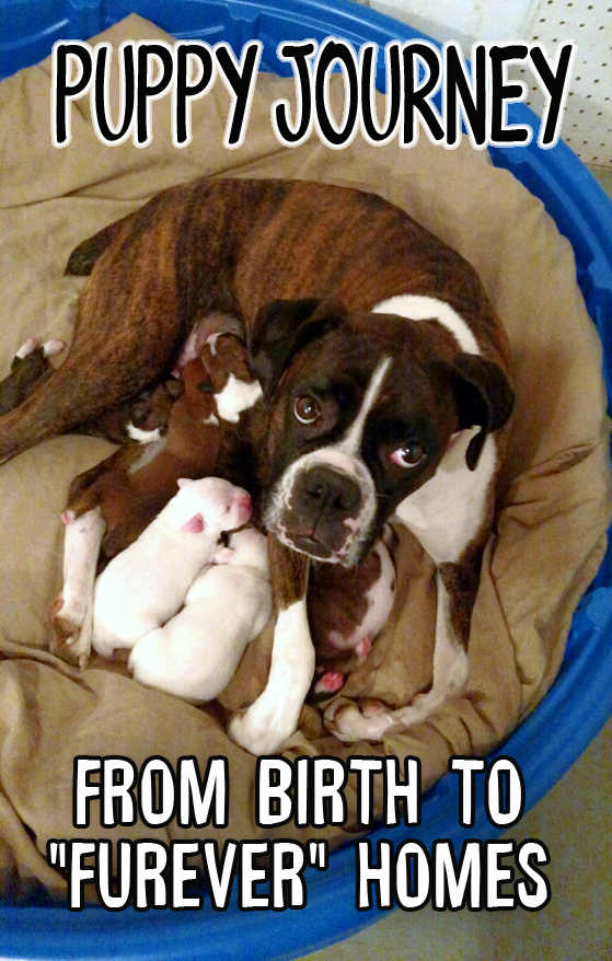 Breeding Boxer puppies from whelping to furever homes